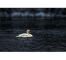 White Swan in River Photographic Print