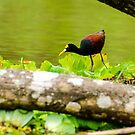 Northern Jacana by Mary Carol Story