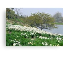 Field of White Daffodils Canvas Print