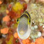 Mimic filefish - Paraluteres prionurus by Andrew Trevor-Jones