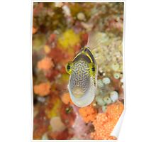 Mimic filefish - Paraluteres prionurus Poster