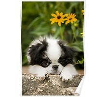 Adorable Japanese Chin Puppy Poster
