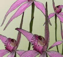 Cerise Spider Orchids Sticker