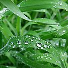 Dew Drops on Grass by AnnDixon