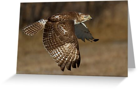 Red-tailed Hawk in Flight by Jim Cumming