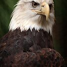Bald Eagle II by Daniela Pintimalli