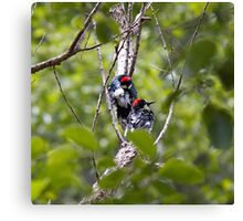 Acorn Woodpeckers along the California Coast in Big Sur Canvas Print