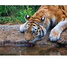 Thirsty Tiger Photographic Print