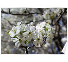 Spring Blossom - white flower Poster
