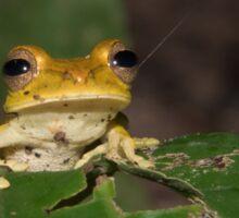 Convict Tree Frog, Parque Nacional del Manu, Peru Sticker