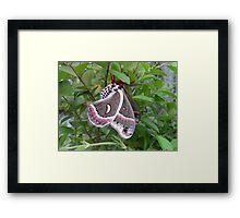 """Cecropia Moth on Plant"" Framed Print"