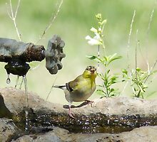 Little  Goldfinch Just Tweeting! by Penny Odom