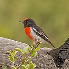 Red-Capped Robin by Rick Playle