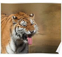Amur Tiger - Erie Zoo Poster
