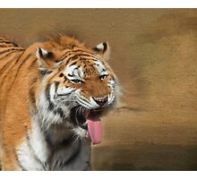 Amur Tiger - Erie Zoo Photographic Print
