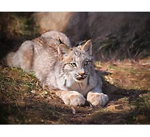 Canadian Lynx - Erie Zoo Photographic Print