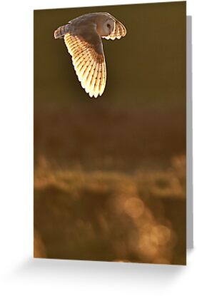 Barn Owl - Hunting over the Marshes by TonySkerl Photography