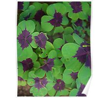 Oxalis Leaves Poster