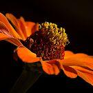 Orange Zinnia  by Nicole  Markmann Nelson