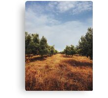 Olive Tree Orchard Canvas Print