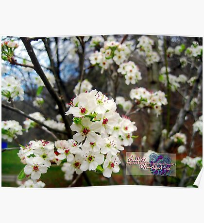 early  bradford pear blooms Poster