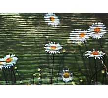 Country Daisy Photographic Print