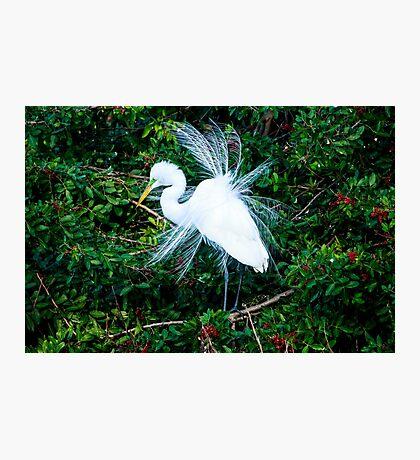 Great Egret Mating Season Display Photographic Print