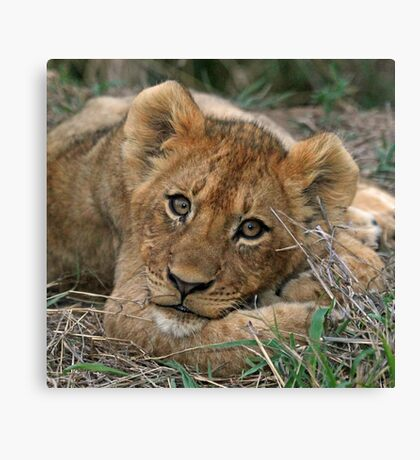 A young lion cub(This is the life!) Canvas Print