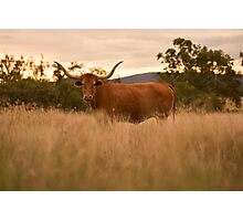 Longhorn Cow in the paddock Photographic Print