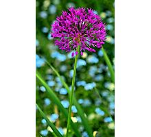 --Lavender Allium Photographic Print
