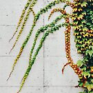 Green Ivy Growning on Grey Urban Concrete Wall by visualspectrum