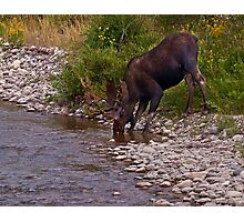 Thirsty Moose - Grand Tetons National Park, Wyoming Photographic Print