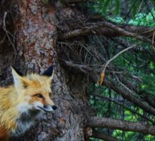 Fox in Colorado Sticker