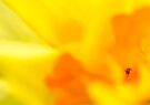 daffodil abstract photo bomb by Jean Poulton