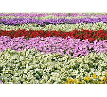 Beautiful colorful stripes of flowers. Photographic Print