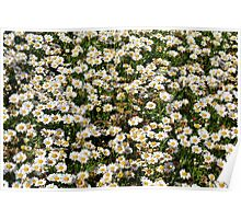 Small white flowers meadow. Poster