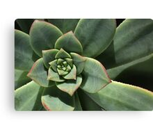 Greens Of Hens And Chicks Canvas Print