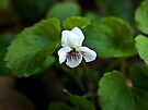 Sweet White Violet by Kathy Weaver
