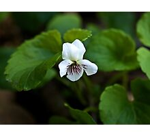 Sweet White Violet Photographic Print