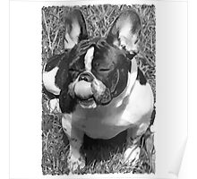 Black & White French Bulldog Poster