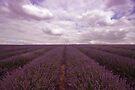 Lavender Field by Nigel Bangert