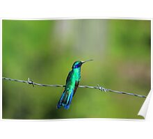 Hummingbird on a Fence Poster