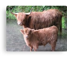 Hairy Coos – Scottish Highland Cattle, Cow & Cute Calf Canvas Print