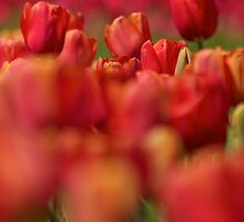Orange Tulip Field 2 by Stacie Forest