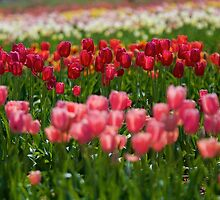 Tulip Field of Color by Stacie Forest