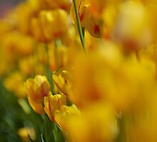Yellow Tulips by Stacie Forest