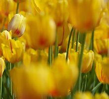 Yellow Field of Tulips by Stacie Forest