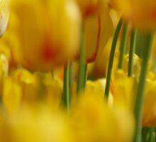 Yellow Field of Tulips Sticker