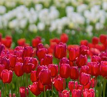 Field of Tulips by Stacie Forest