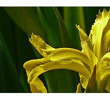 Jap iris art Photographic Print